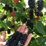 upick_blackberries